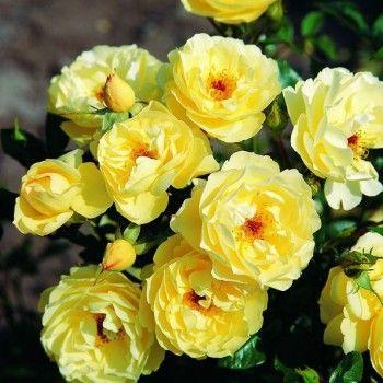 Купить саженцы роз в интернет магазине