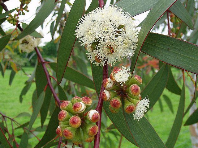 May 29th Tree Three Snow Gum Blossom Eucalyptus Pauciflora