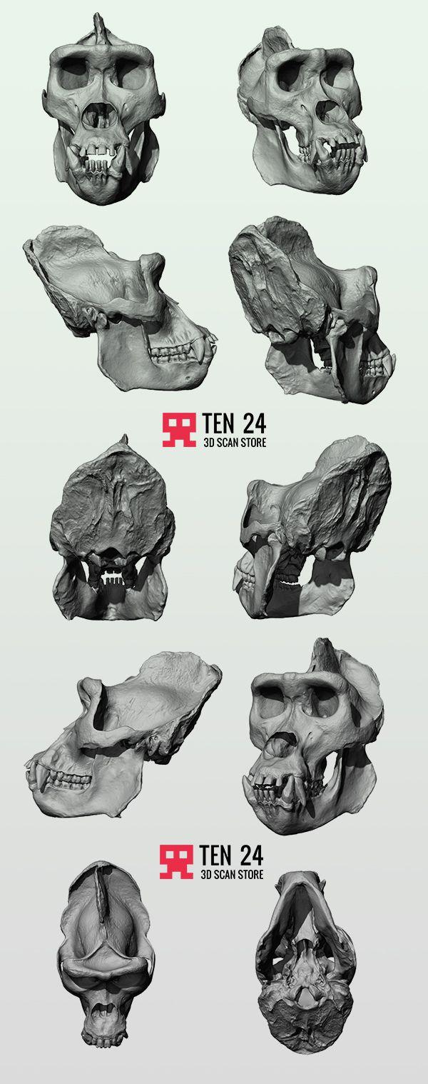 Gorilla Skull on Behance | Anatomy | Pinterest | Behance, Anatomy ...
