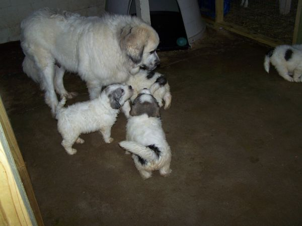 Great Pyrenese Can T Wait To Move To The Farm To Get One Of These