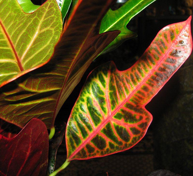 How To Choose Soil For Croton Plant Plants Croton 400 x 300