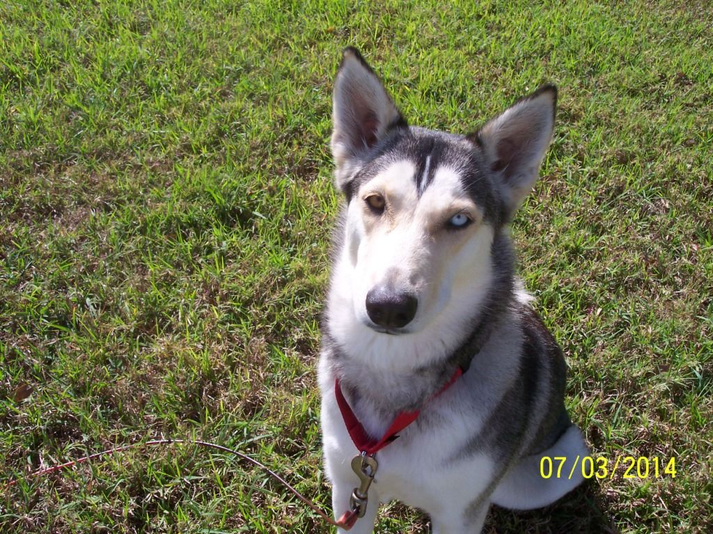 Pin By Florida Siberian Husky Rescue Inc On Be A Foster Save A
