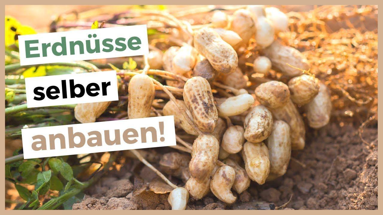 Erdnusse In Deutschland Anbauen Erdnuss Pflanzen Selber Ziehen In 2020 Erdnuss Fruchte Und Gemuse Erdnusse Pflanzen