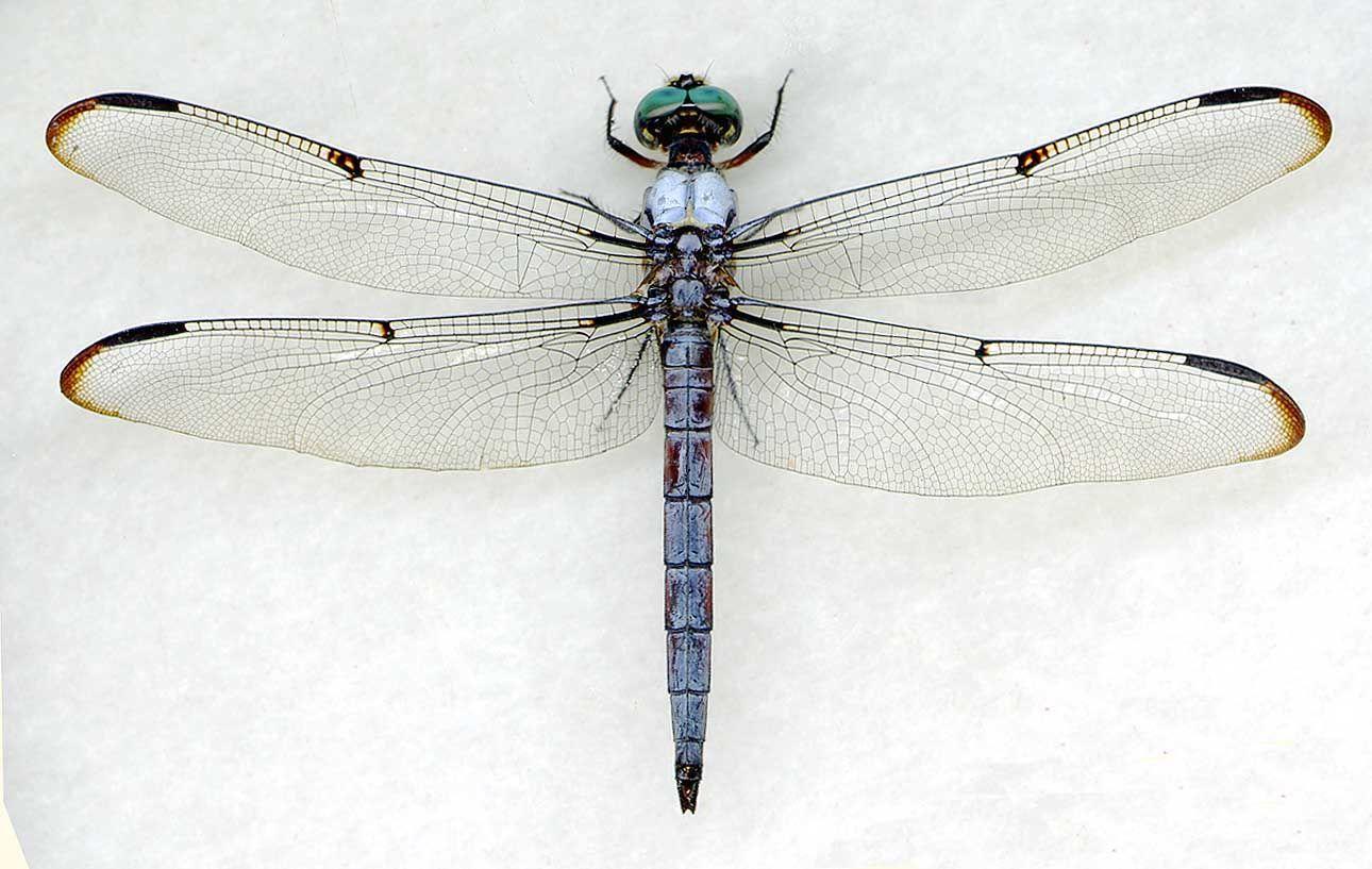 DRAGONFLY - Genus Libellula - Libellula vibrans - 'Great Blue Skimmer'