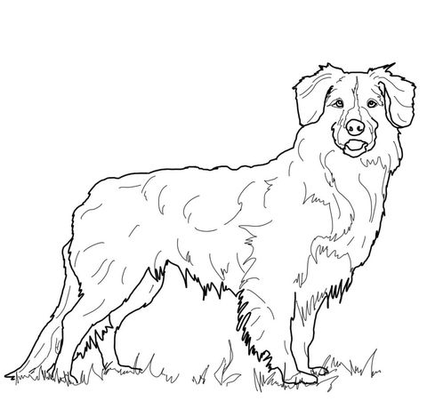 Dog Nova Scotia Duck Tolling Retriever Coloring Page
