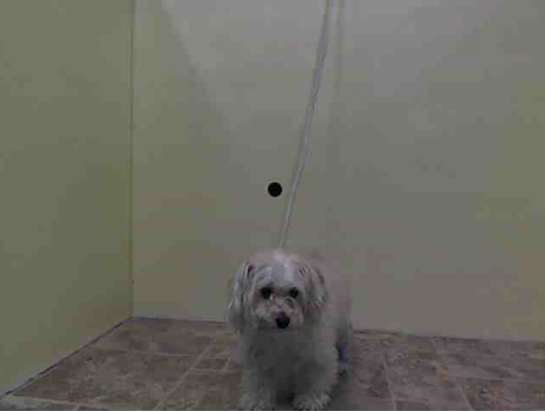 Manhattan Center    SAMANTHA - A0999129    SPAYED FEMALE, WHITE / CREAM, SHIH TZU MIX, 5 yrs  OWNER SUR - EVALUATE, NO HOLD  Reason PET HEALTH   Intake condition NONE Intake Date 05/08/2014, From NY 10031, DueOut Date 05/08/2014,  https://www.facebook.com/Urgentdeathrowdogs/photos_stream