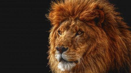 Download Wallpaper 1920x1080 Lion Shadow Dark Grass Walking Hunting Predator Full Hd 1080p Hd Background Animals Lion Mane Pets Cats