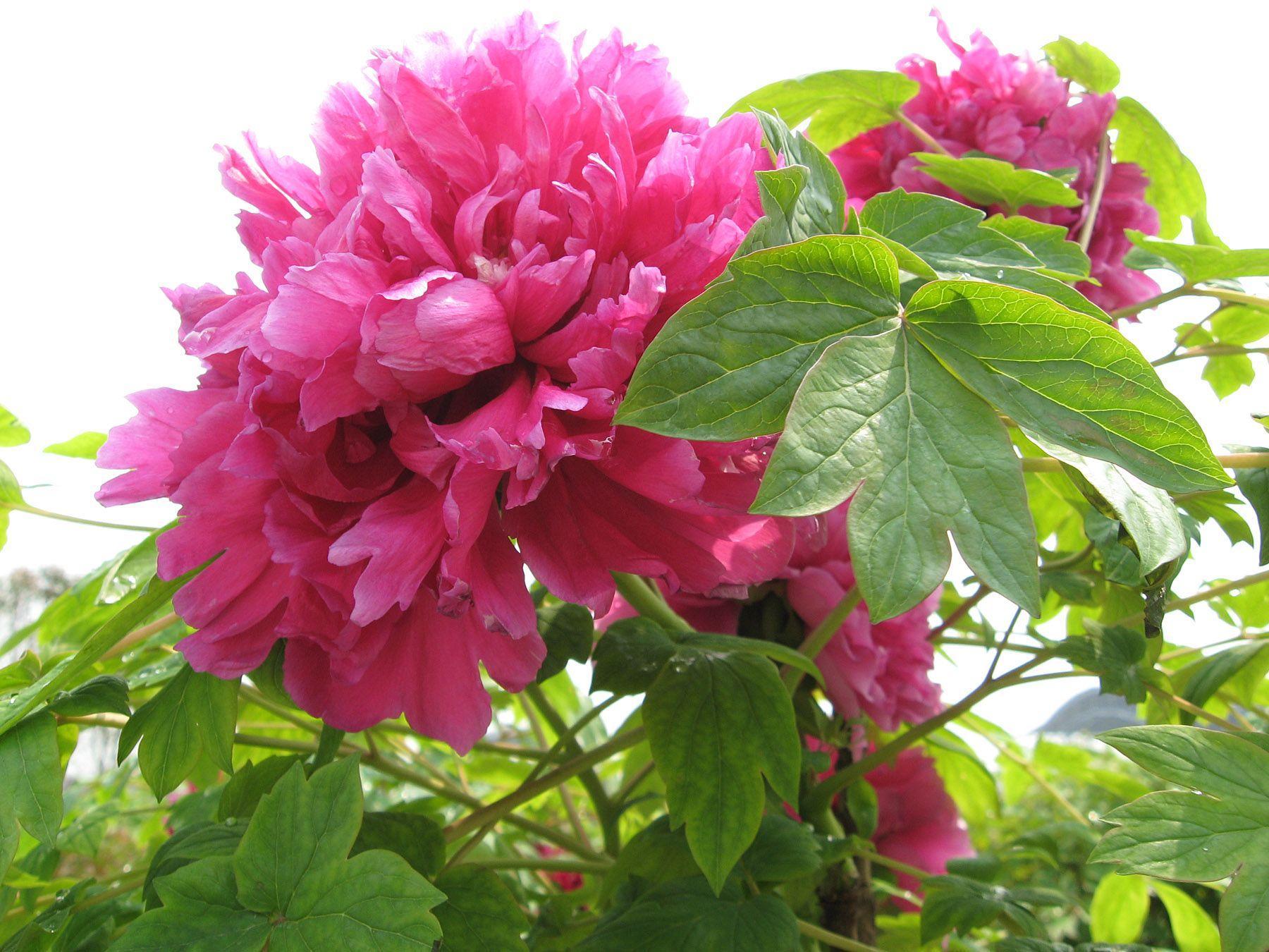 Peony flower rich open 25470 - Flowers photo - Flowers