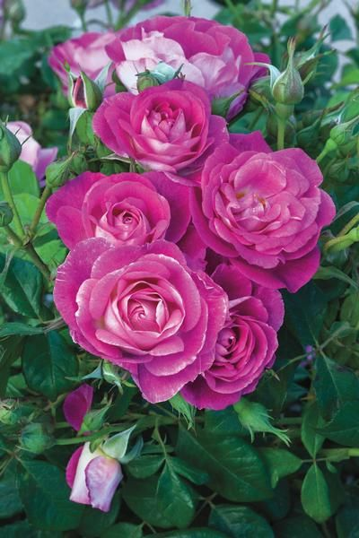 Rosa Floribunda Easy To Please Rose Flower Colors Flowers Rose