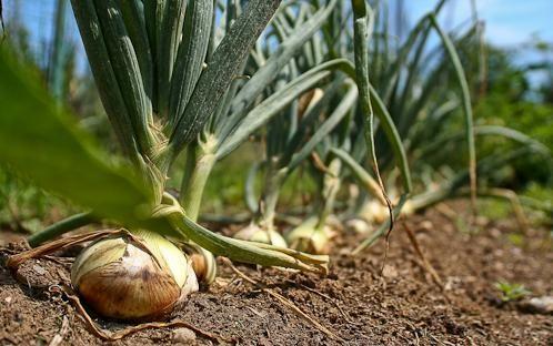 onion bulbs harvest ready