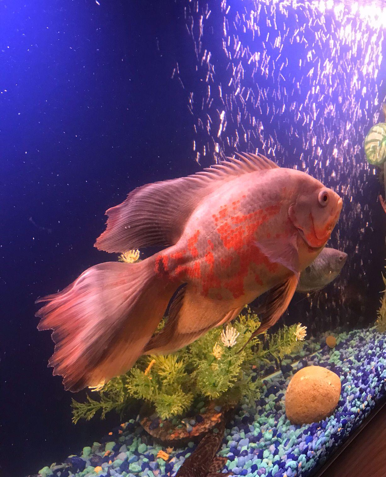 "My lovely long finned Oscar. She\'s about 9"" now. | Oscar Fish ..."