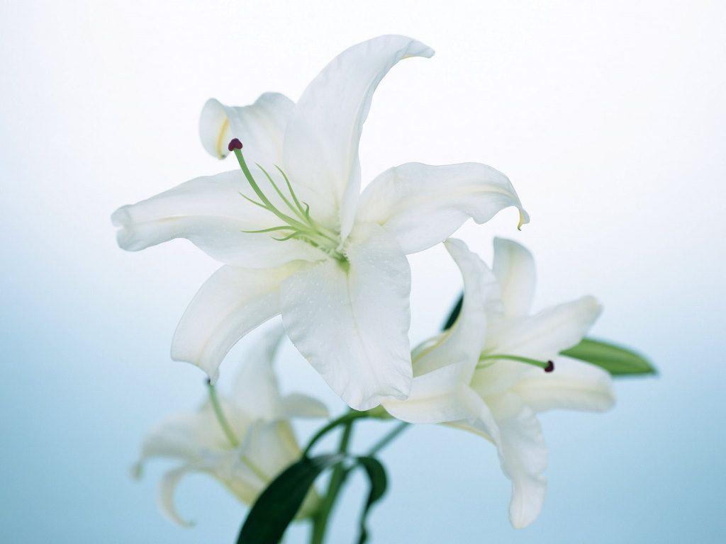 Lily flower wallpaper which i prefer pinterest lily flower wallpaper izmirmasajfo Gallery