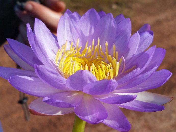 Nova espécie de flor é descoberta na Austrália