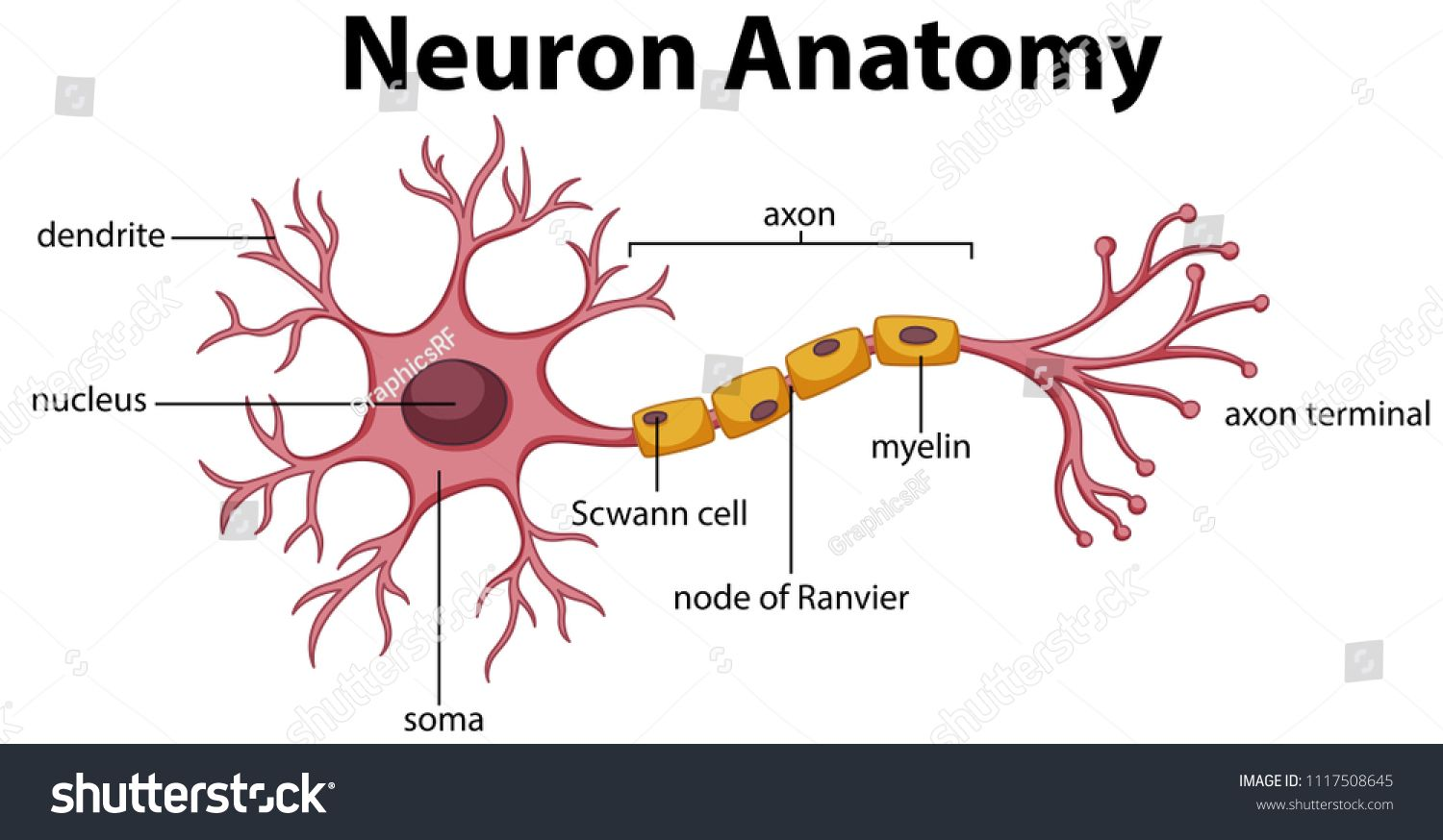 Diagram Of Neuron Anatomy Illustration Ad Ad Neuron Diagram Illustration Anatomy Neuron Diagram Neurons Nervous System Diagram