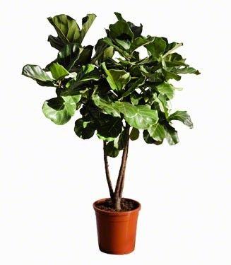 Grote kamerplanten online kopen chicplants simplemente for Grote kamerplanten