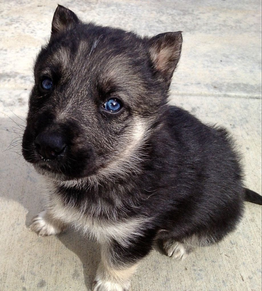 My New Puppy That I Got Last Night He S A German Shepard Husky