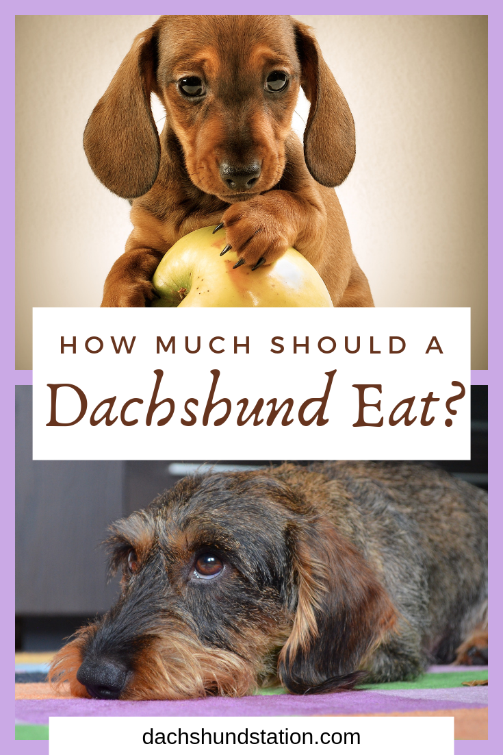 Are you feeding your dachshund a healthy diet? Always