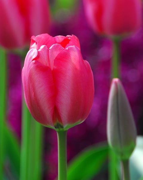 Tulip Niigata Is Named After The Beautiful City Of Niigata In Japan Darwin Hybrid Tulips Produce Huge Flowers And Planting Tulips Planting Bulbs Bulb Flowers