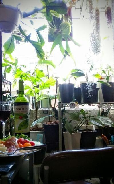 バルコニー/ベランダの画像 by ボタニカル社労士さん | バルコニー/ベランダとフィロデンドロン ムーネニーとビカクシダ コロナリウムとカフェみたいな暮らしコンテストと観葉植物