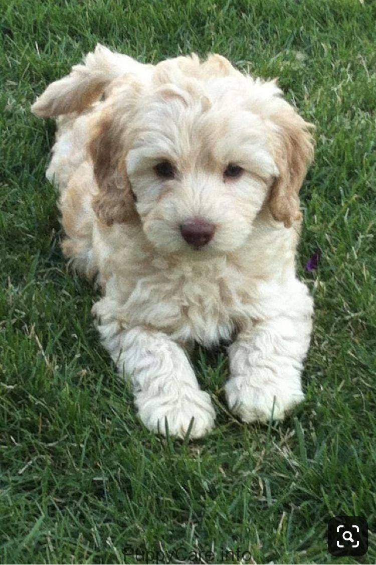 Love It White Golden Doodle Labradoodle Puppy Australian