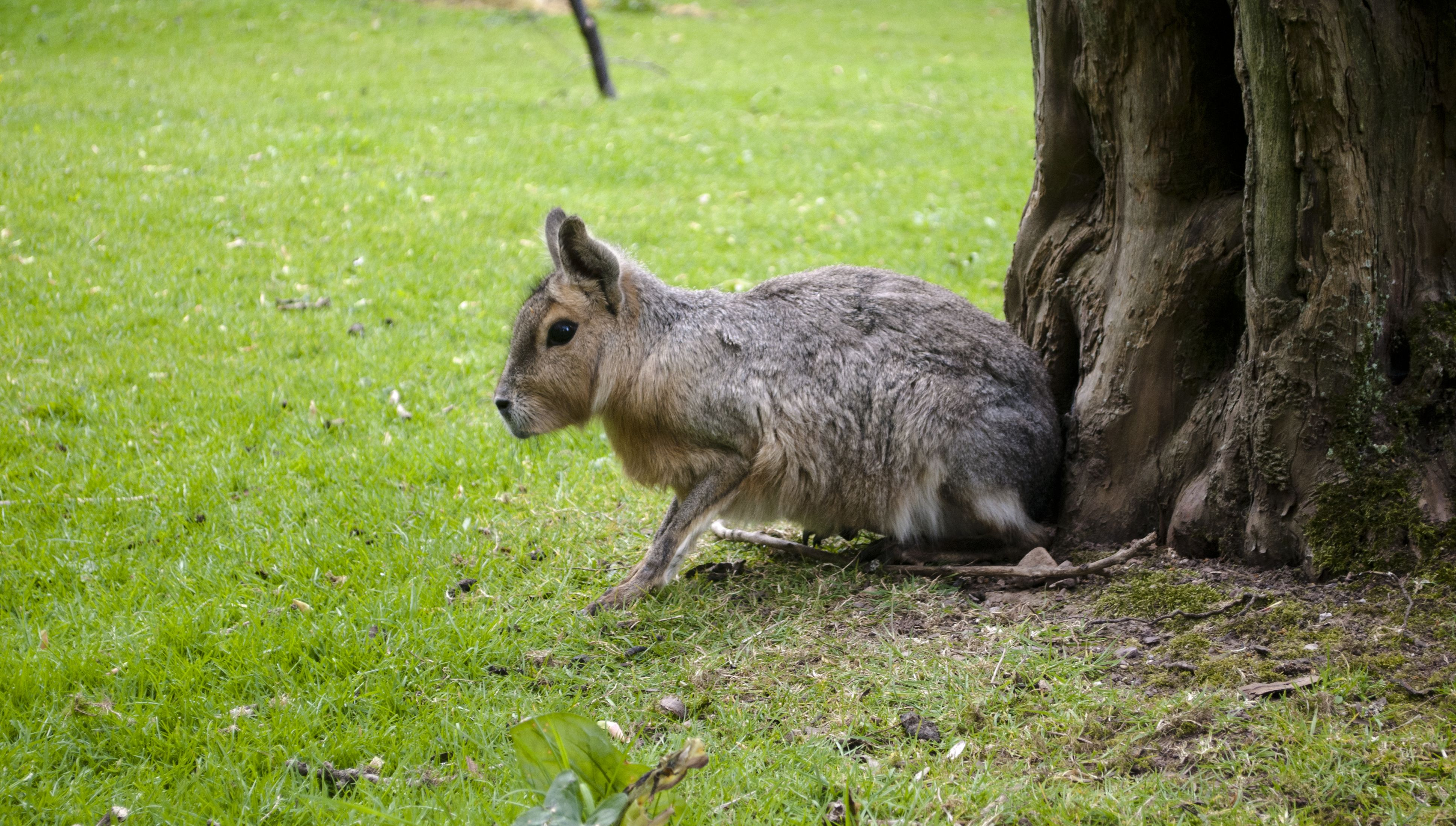 See the world's fourth largest rodent the Mara Large