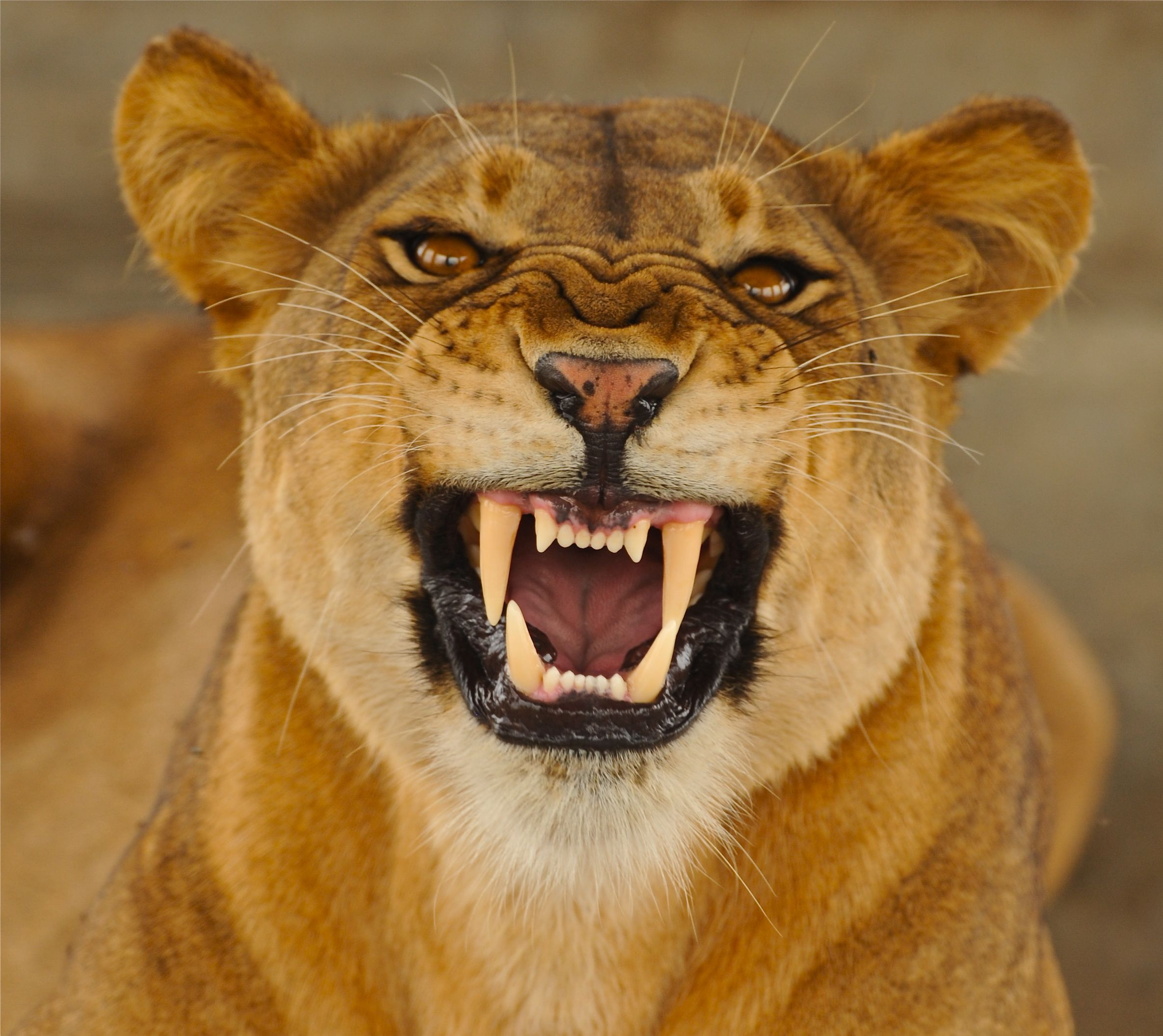 Image Gallery For : Snarling Lioness
