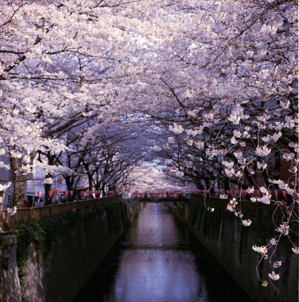 Cherry Blossoms Ueno Park Taito Tokyo Japan Tree Tunnel Japan Travel California Activities