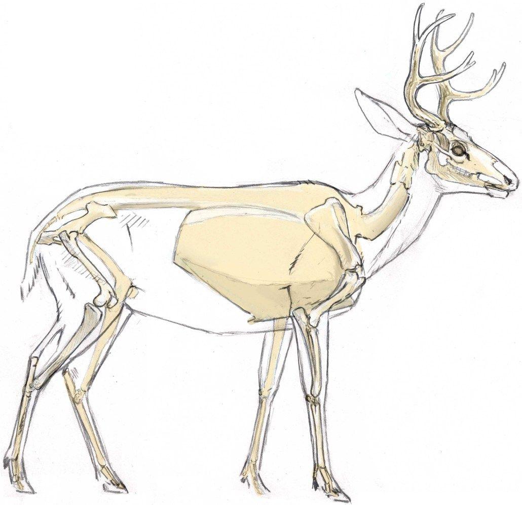 Mule Deer Skeleton 2 | Gaea and Tartarus | Pinterest | Mule deer ...