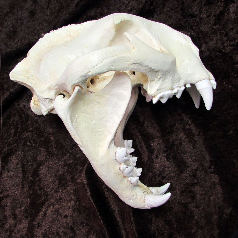 Monster mountain lion cougar puma skull taxidermy REPLICA cast SCI ...