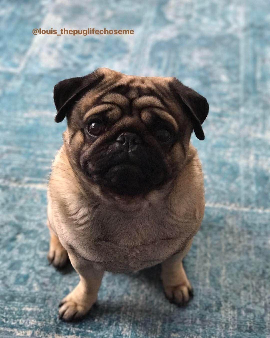 Cute Black Pug Puppy Baby Pugs Black Pug Puppies Baby Pug Dog