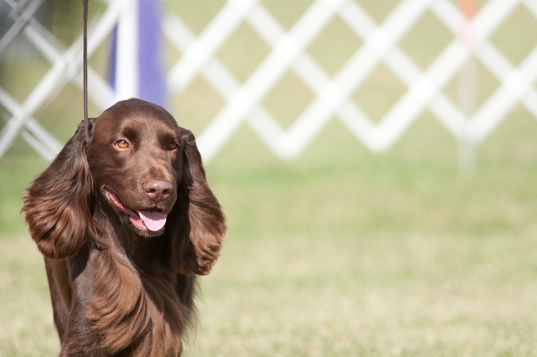 Field Spaniel Field Spaniel At Wine Country Circuit Dog Show At Sampson State Park In Upstate Ny In 2020 Field Spaniel Spaniel Dogs