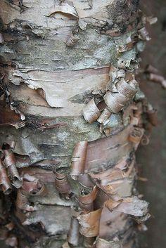 Peeling Bark Tree Textures Tree Of Life Artwork Tree Bark Texture