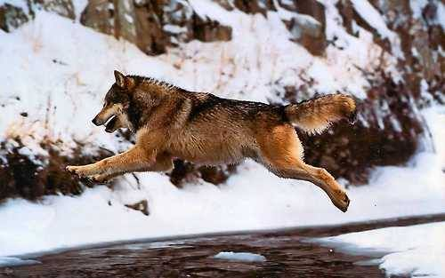 Leaping the Creek #wolves #winter #wild ~ Wolves can jump a 7 foot-high obstacle without slowing down and are able to take long leaps in order to jump from one ice floe to another, with great ease. Their agility and balance is to be admired. Photo: Daniel J. Cox