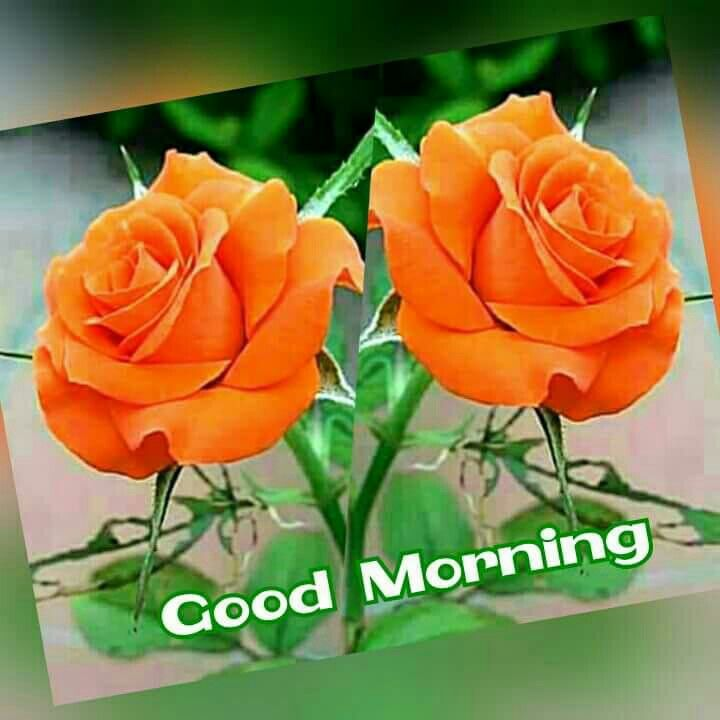 Good Morning With Two Beautiful Orange Roses Pic Good Morning Flowers Good Morning Greetings Good Morning Beautiful Flowers