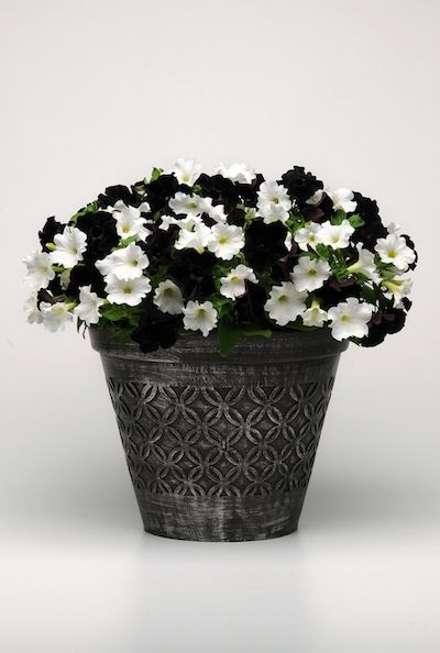 B W Petunias Sedums And Food Plants In Demand This Spring Patio