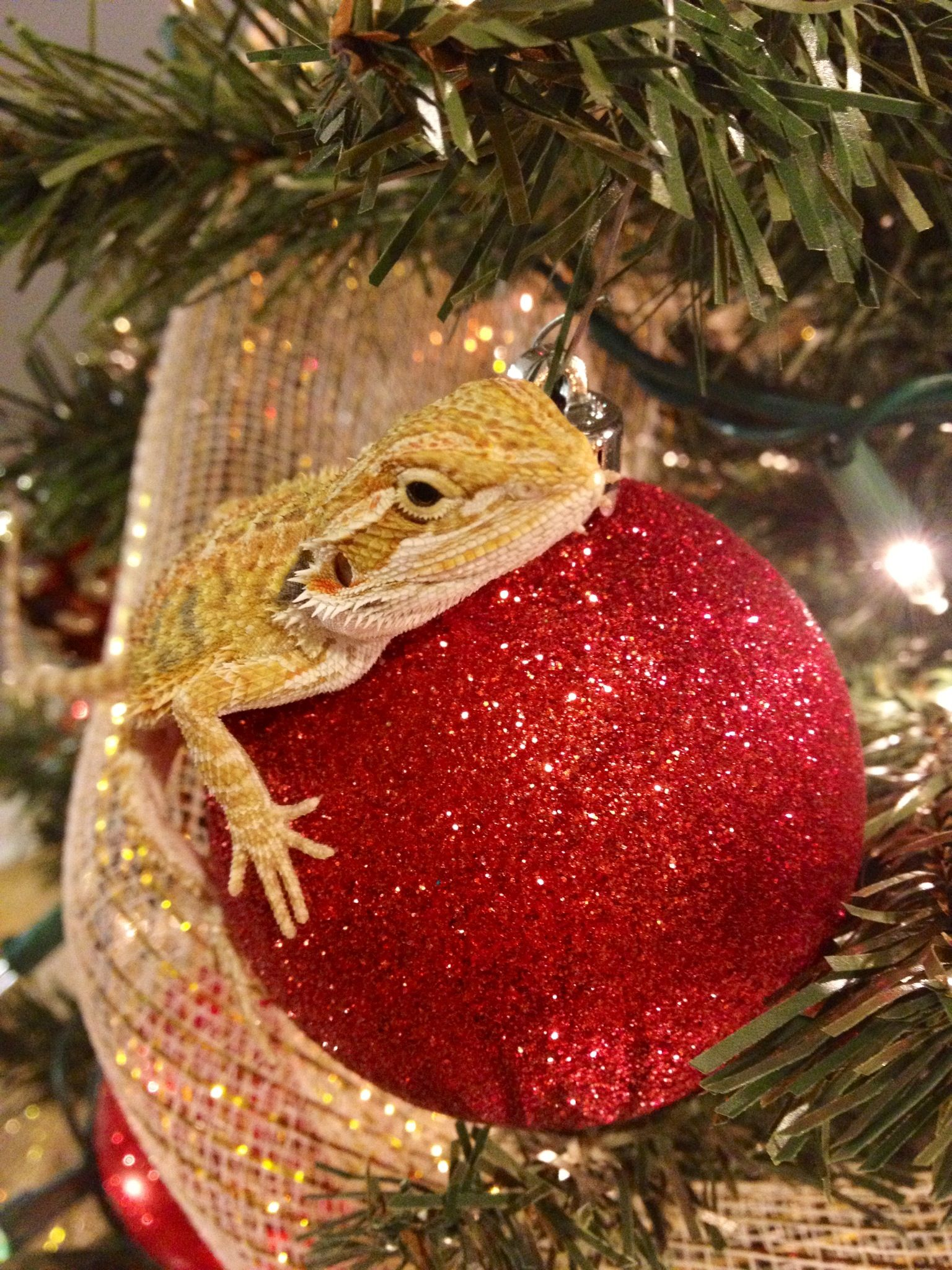 Pin by melissa mckeown on best pets ever bearded dragons - Bearded dragon yawn ...