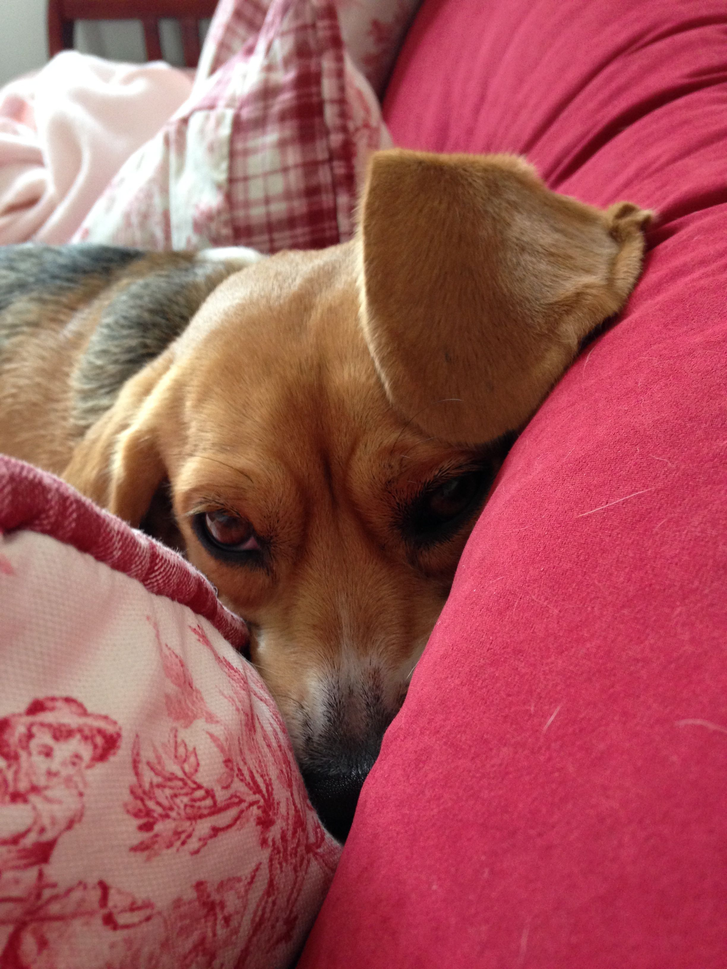 Shiloh Snuggled Up On The Day Bed Beagle Beagle Art Dogs