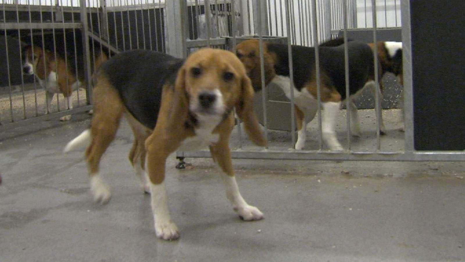 Controversial Puppy Breeding Farm Gets Go Ahead Puppies Beagle