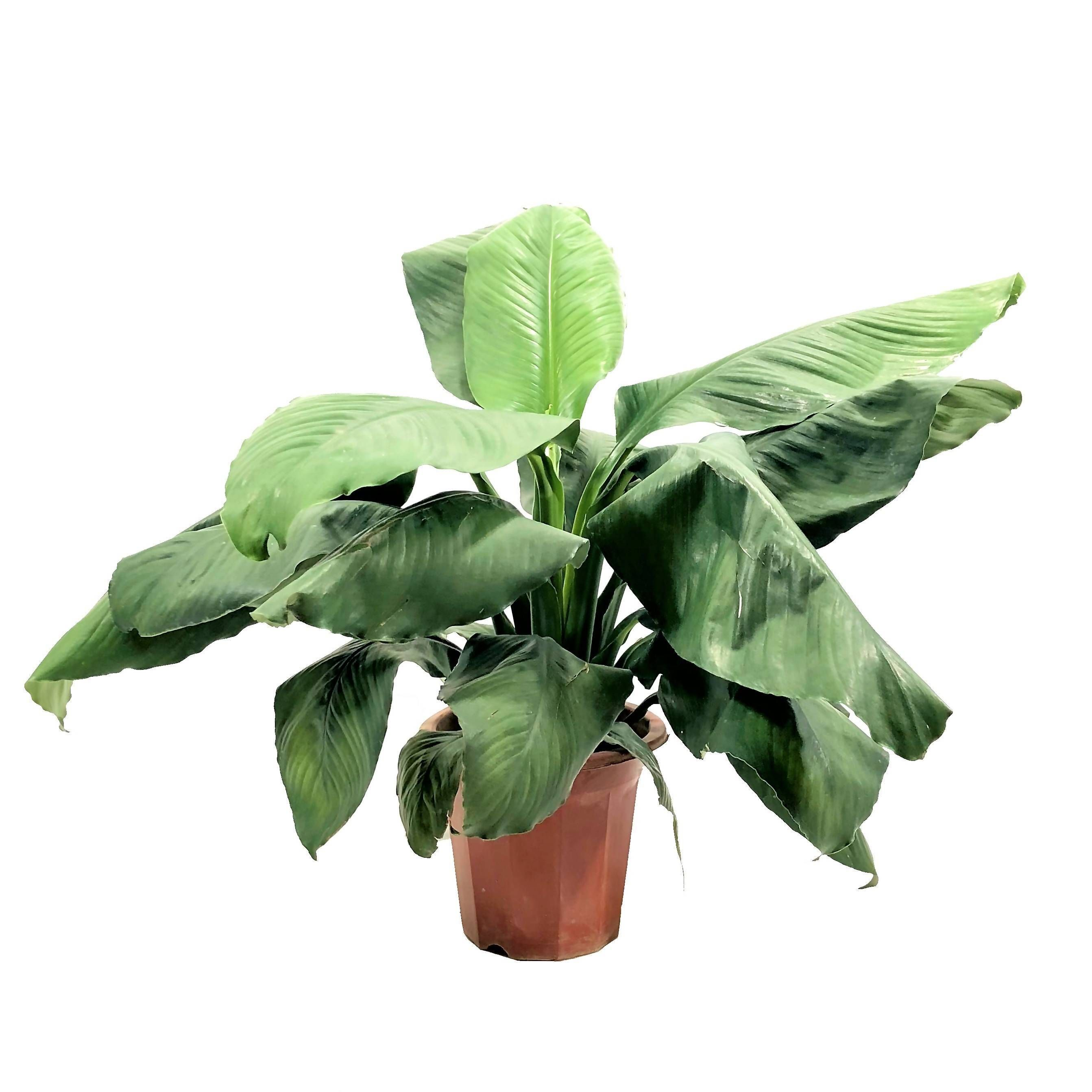 Spathiphyllum 'Sensation', Peace Lily (0.55m) Noah