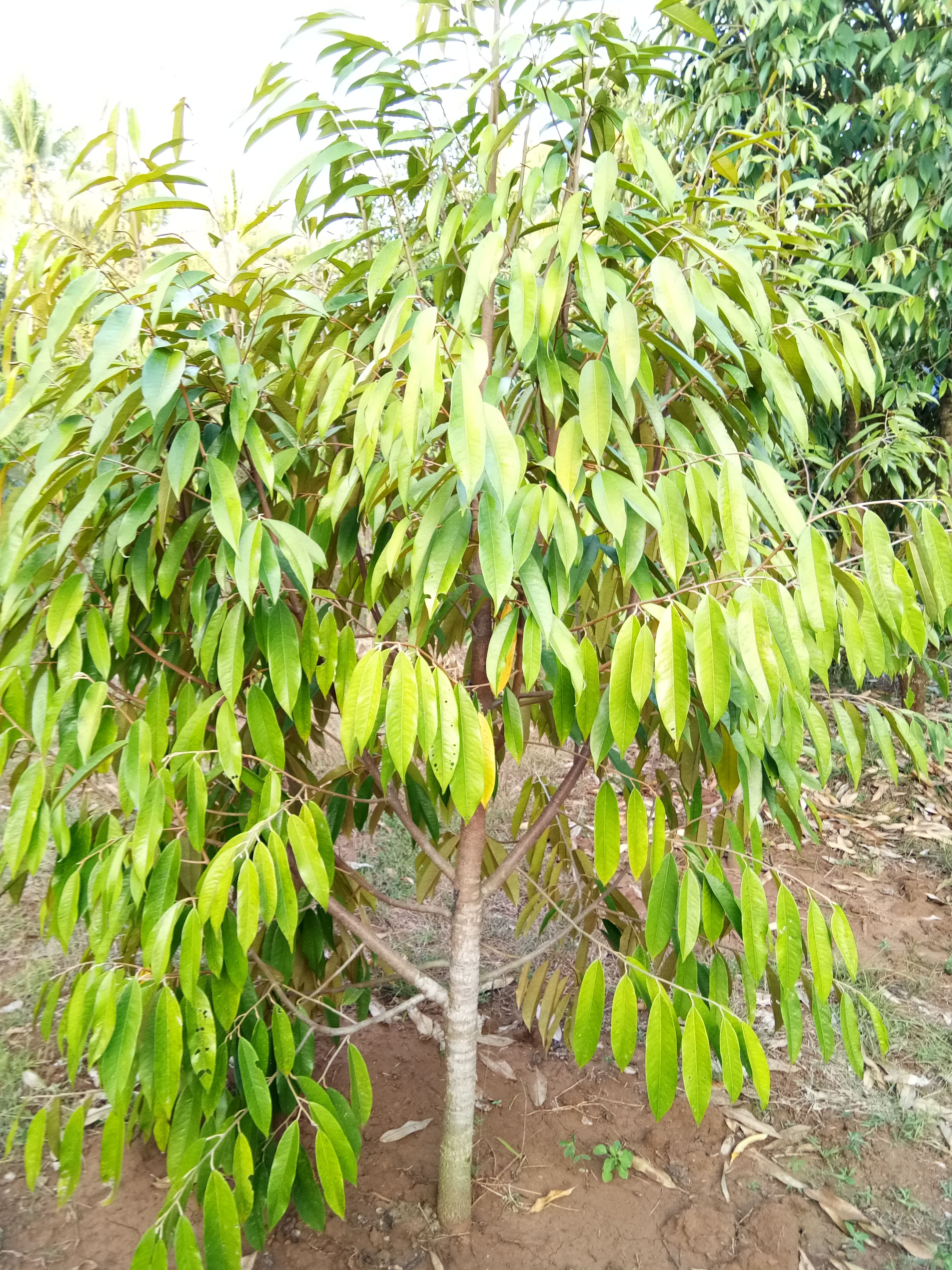 Hp Wa 0822 2022 8118 Durian Merah Bibit Durian Musang King Dongkelan Durian Plants Flowers