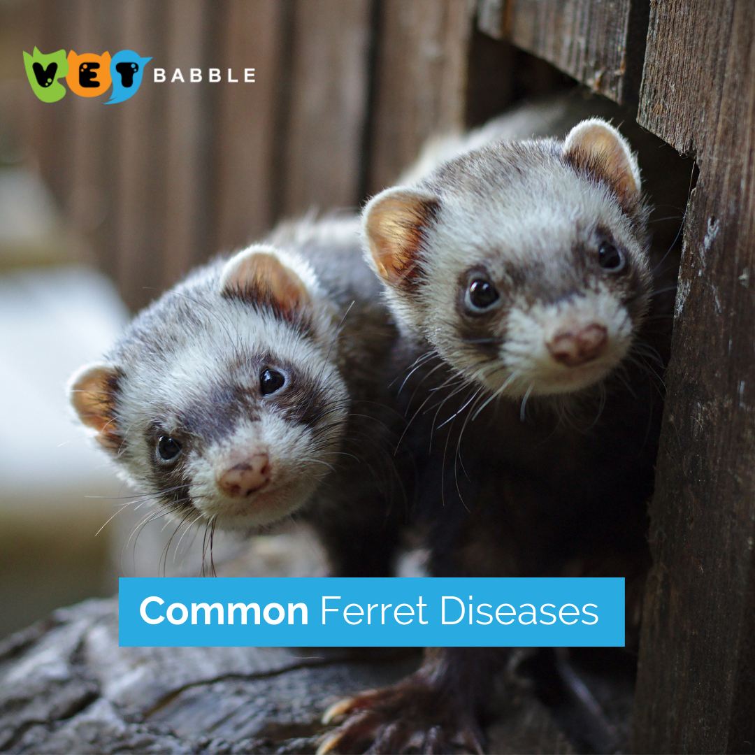 Ferret Diseases Causes Prevention Ferret Ferrets Care Pet