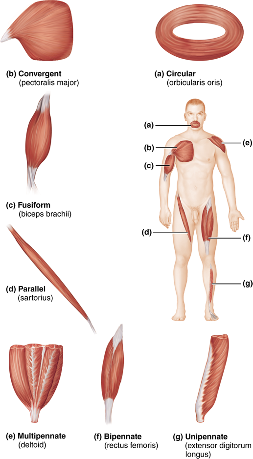 10.3 Fascicle arrangements help determine muscle shape and force ...