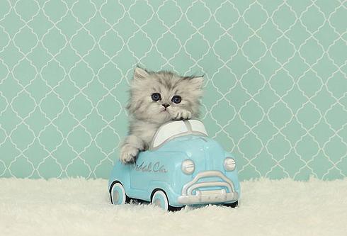 Pin By 1 760 543 6420 On Cute Cats Kittens Cutest Teacup Kitten Kittens