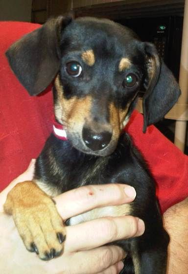 Pictures Of Min Pin Dachsy Mix Dog