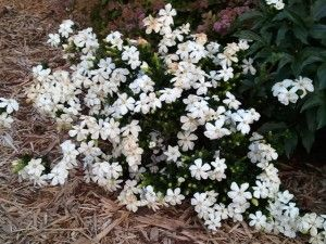 Daisy Gardenia Gardenia Jasminoides Daisy Foundation