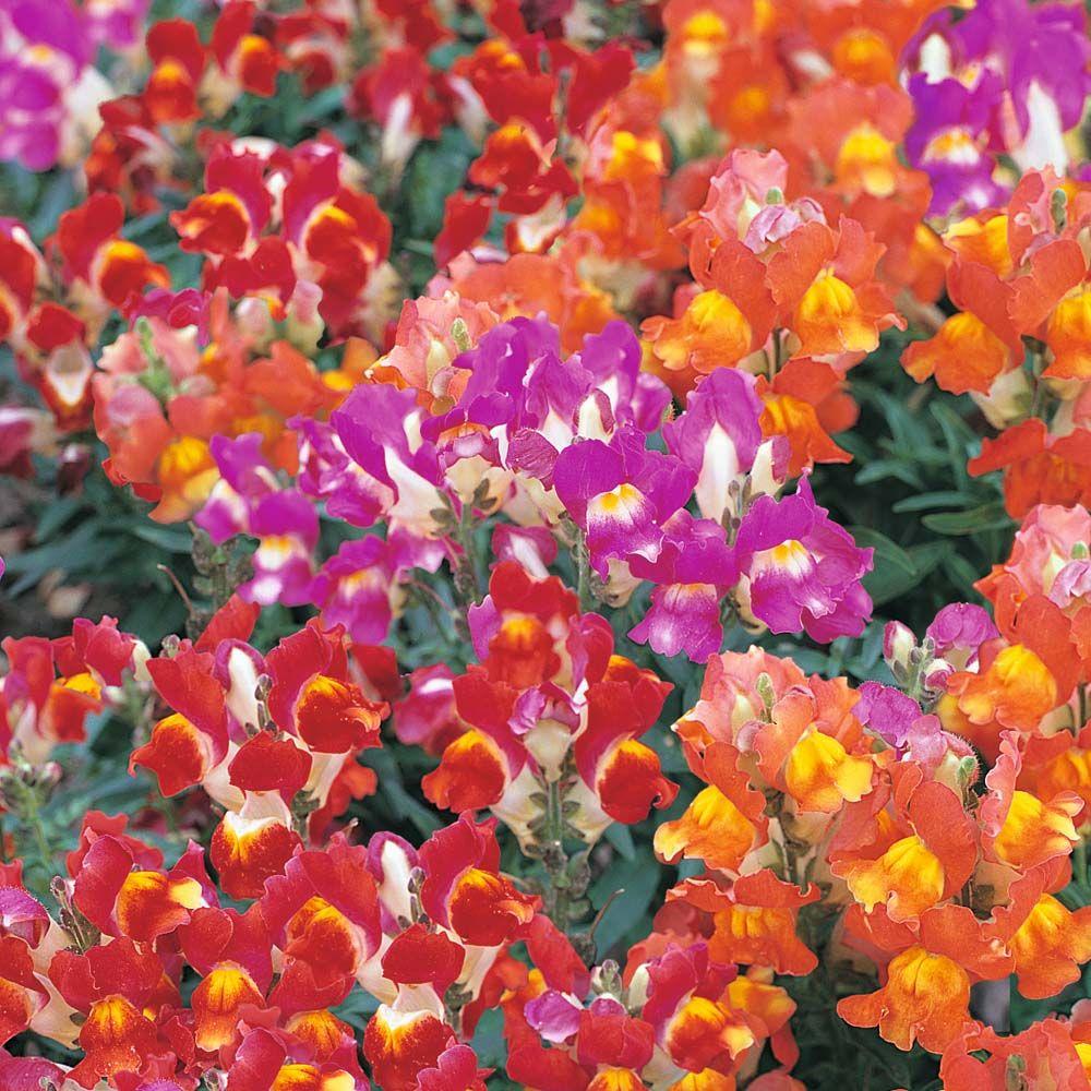 Antirrhinum majus kim bicolor mixed f1 hybridsnapdragon annuals antirrhinum majus kim bicolor mixed f1 hybrid half hardy annual seeds thompson morgan izmirmasajfo