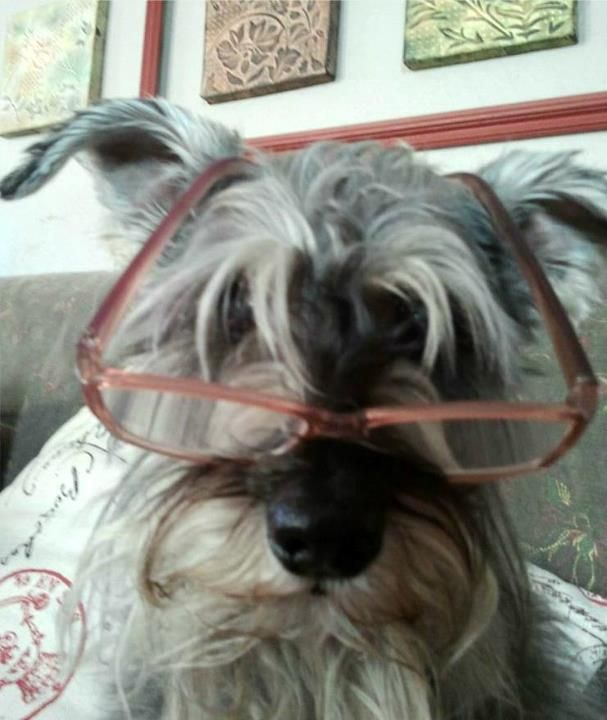 My dog Denver!   #Schnauzer