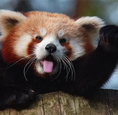 Red Panda Hello