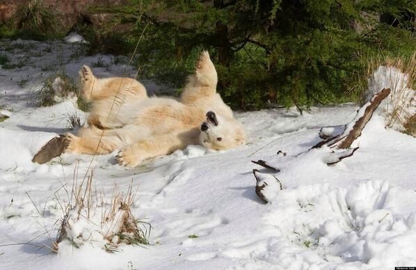 Pike, a 30 year old Polar Bear was gifted 10 tons of snow for his birthday in a California zoo <3