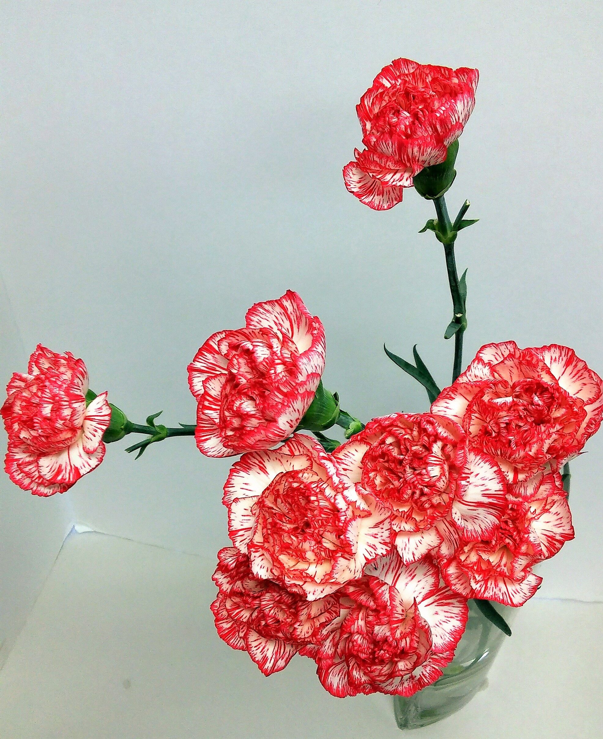 Peppermint Or Candycane Carnations Red And White Striped Carnations Perfect For Winter Time Arrangements Winter Flowers Order Flowers Online Flowers Online